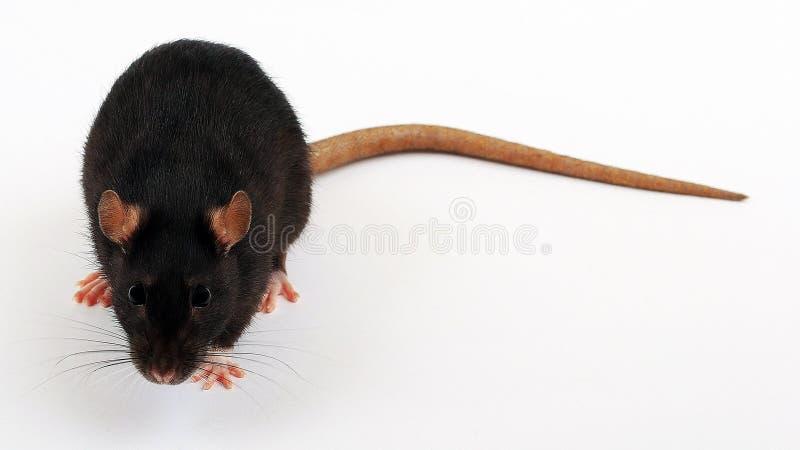Rato preto no assoalho branco fotografia de stock royalty free