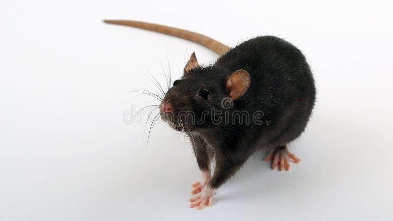 Rato preto no assoalho branco imagem de stock royalty free