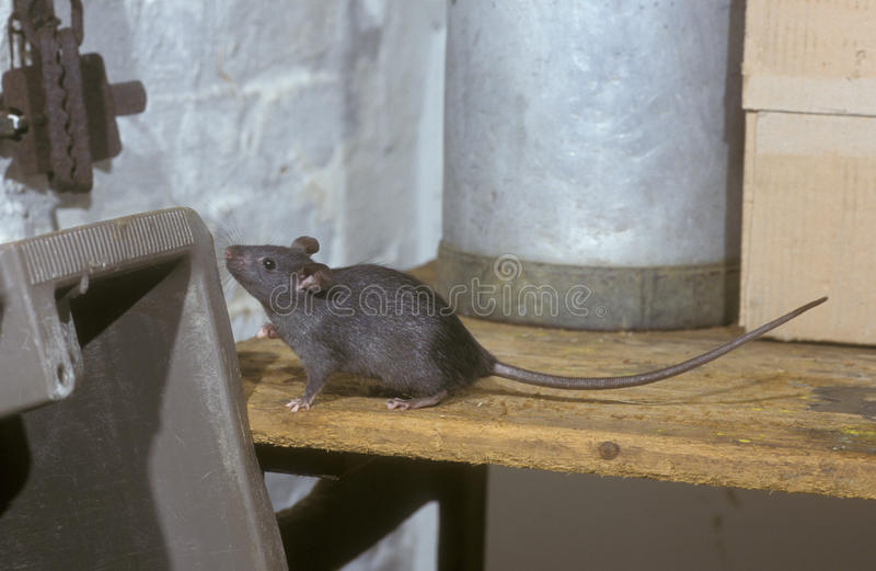 Rato preto ou do navio, rattus do Rattus foto de stock royalty free