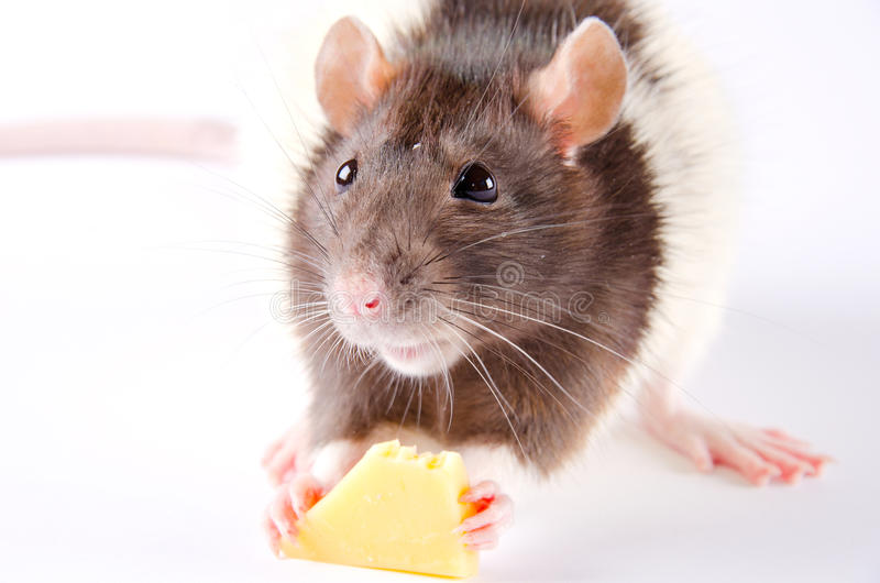 Rato que come o queijo imagem de stock royalty free