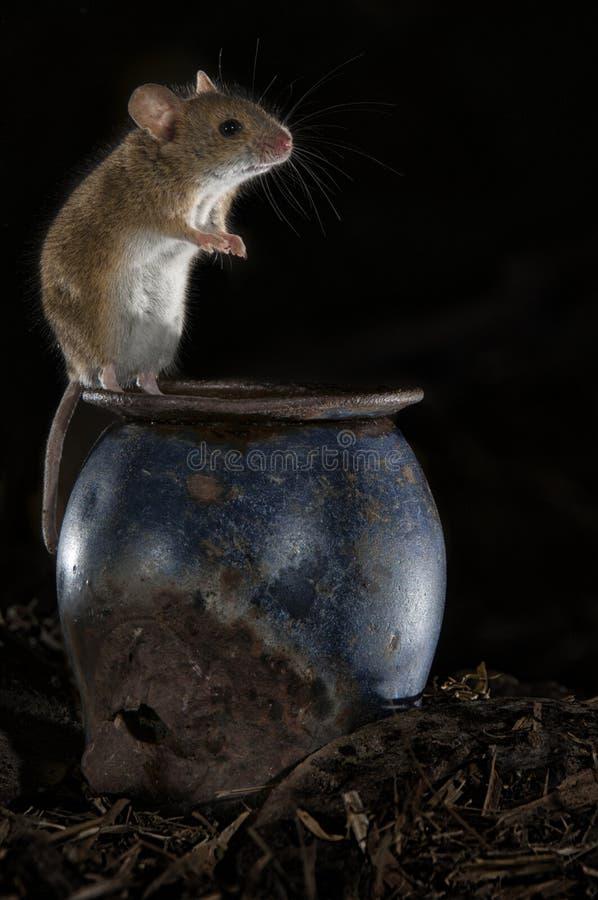 Rato que joga no sótão velho, sylvaticus do Apodemus fotografia de stock