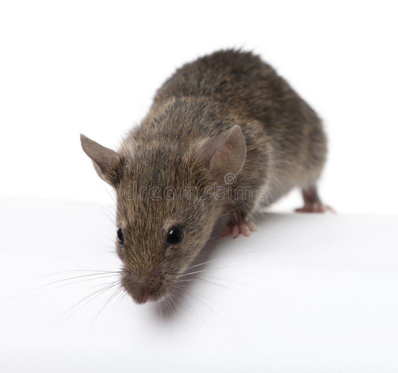 Rato selvagem, na frente do fundo branco, tiro do estúdio imagem de stock royalty free