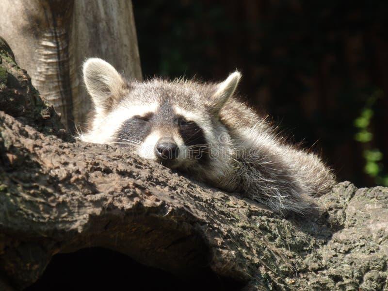 Raton laveur de zoo images stock