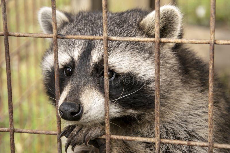 Raton laveur mignon regardant hors de la barrière photo libre de droits