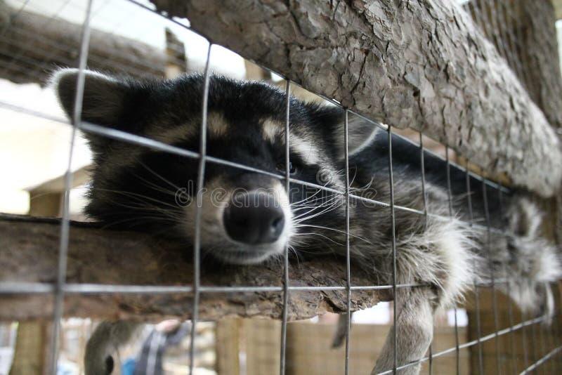 Raton laveur paresseux au zoo image libre de droits