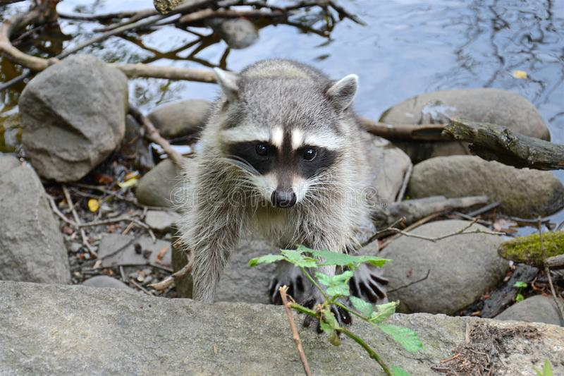 Raton laveur pelucheux adulte curieux mignon sur le rivage de l'étang photographie stock