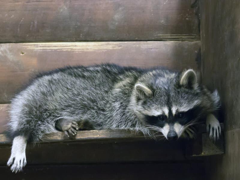 Raton laveur pelucheux drôle se situant dans une cage en bois photo stock