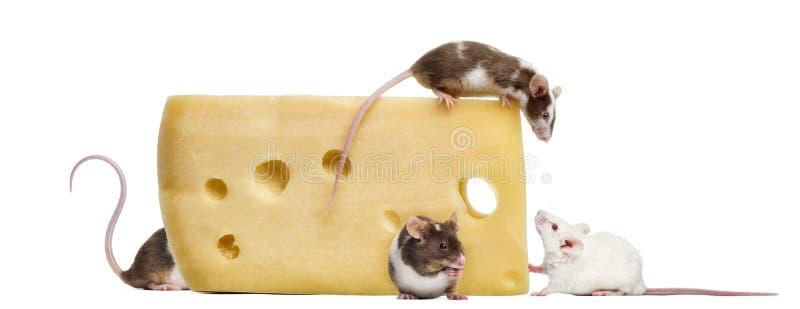 Ratones alrededor de un pedazo grande de queso fotografía de archivo