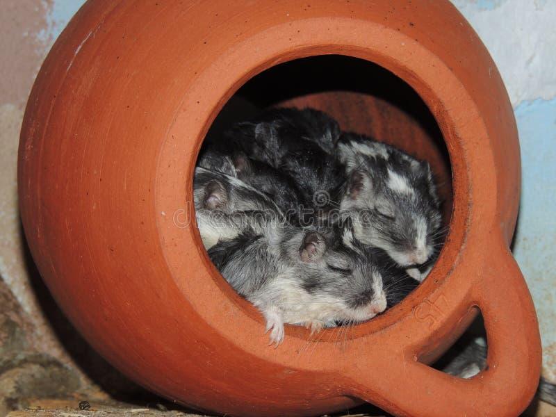 Ratones el dormir en un tarro fotos de archivo