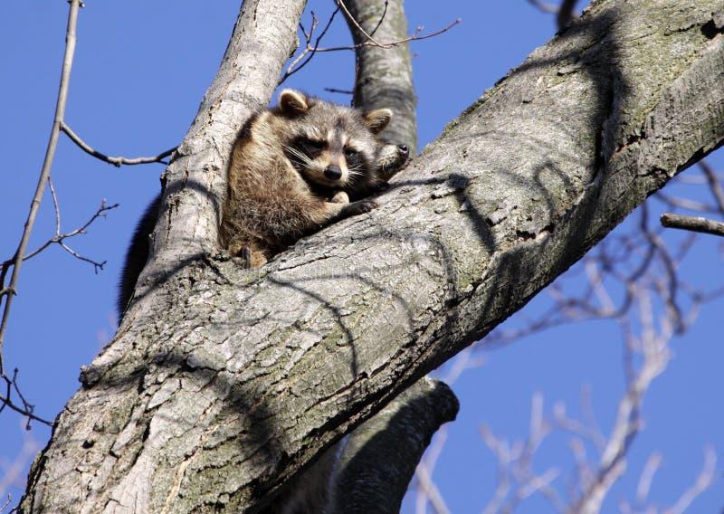 Ratons laveurs dans l'arbre images libres de droits
