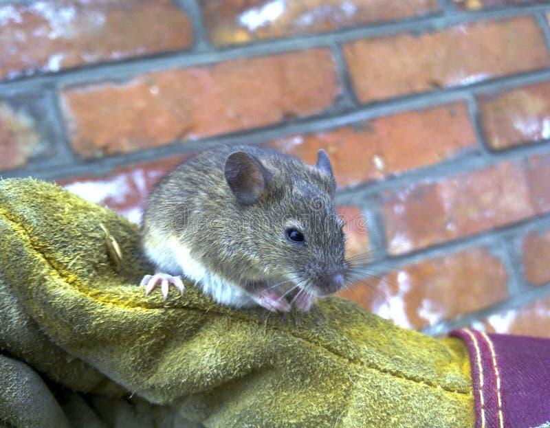 Ratos à disposição Ratos de casa ordinários foto de stock