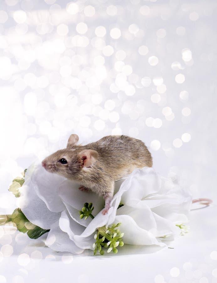 Ratos da flor imagens de stock