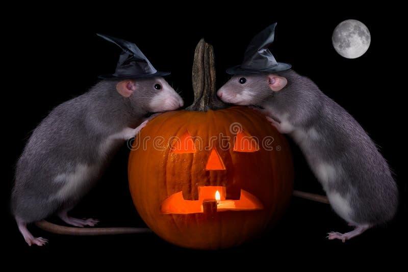 Ratos de Halloween foto de stock