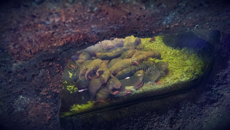 Ratos de toupeira despida imagem de stock