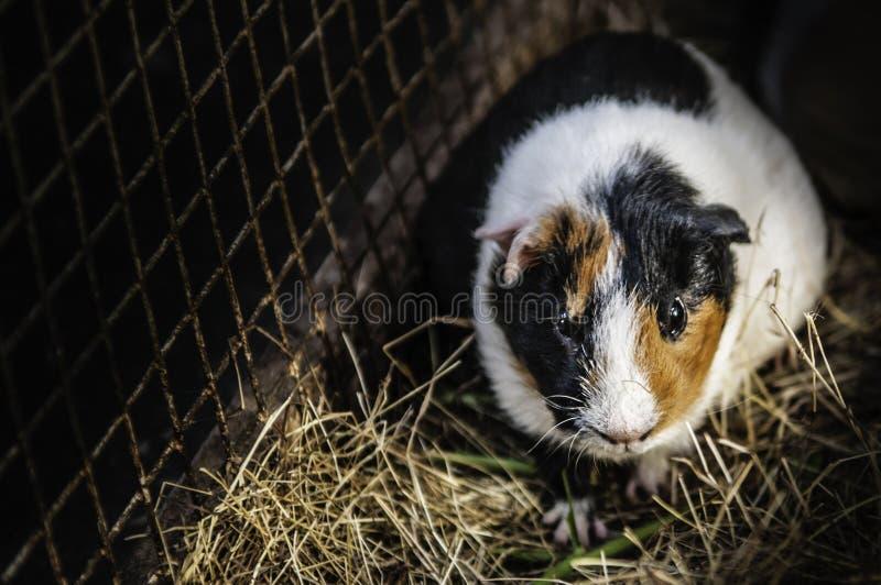 Ratos do animal de estimação em uma gaiola gramínea fotografia de stock