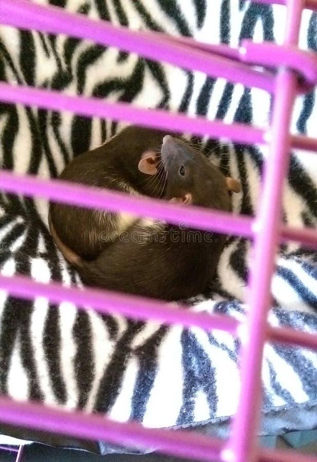 Ratos do bebê fotos de stock