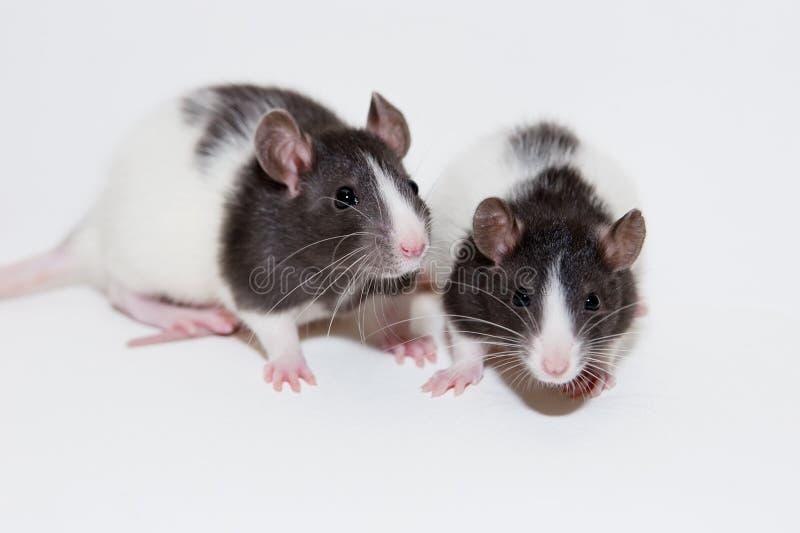 Ratos do bebê foto de stock royalty free