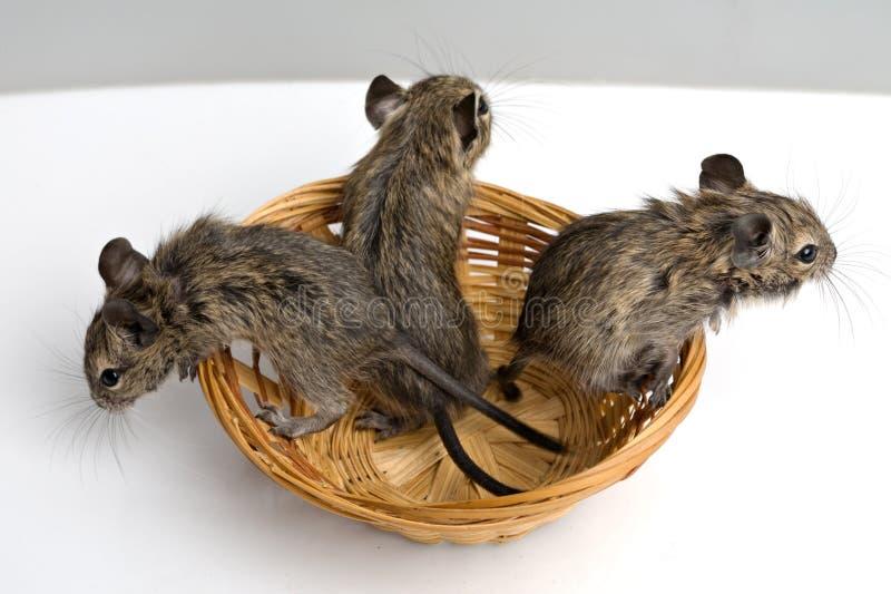 Ratos do bebê imagem de stock