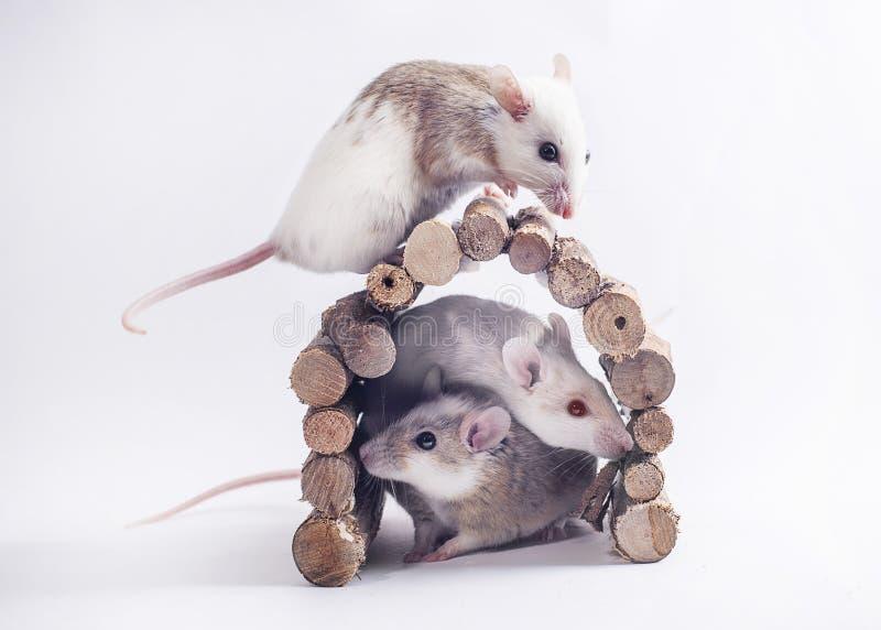 3 ratos no contexto branco foto de stock royalty free