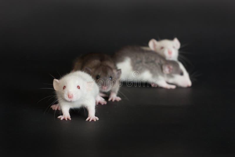 Ratos novos pequenos fotografia de stock