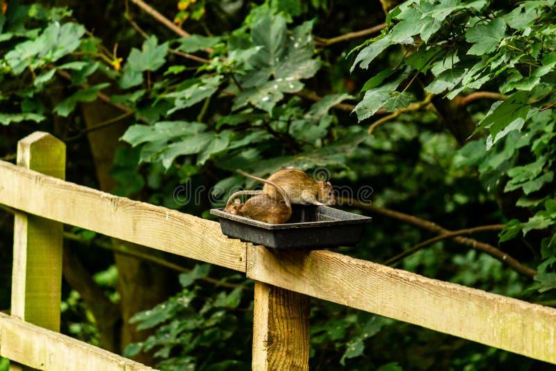 Ratos que alimentam fora dos alimentadores fotos de stock