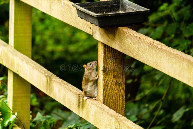 Ratos que alimentam fora dos alimentadores foto de stock royalty free