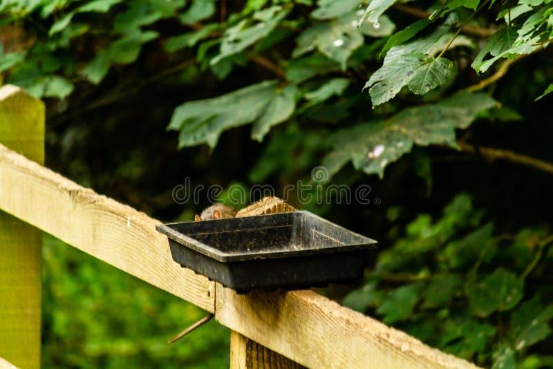 Ratos que alimentam fora dos alimentadores foto de stock