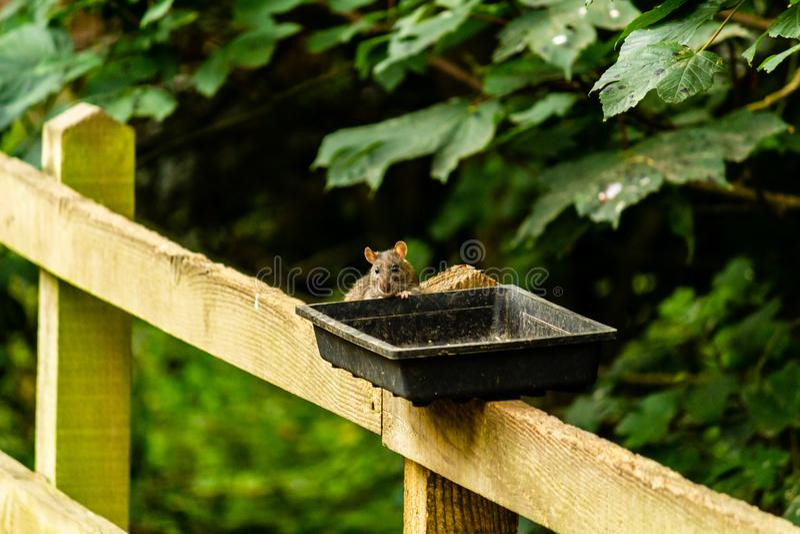Ratos que alimentam fora dos alimentadores imagens de stock