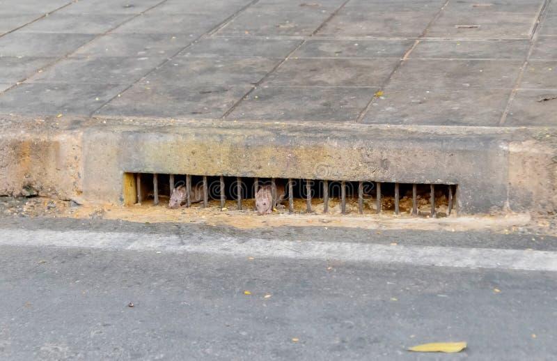 Ratos sujos que saem da posse da água de esgoto na rua de Banguecoque, Tailândia 5 de janeiro de 2019 imagem de stock