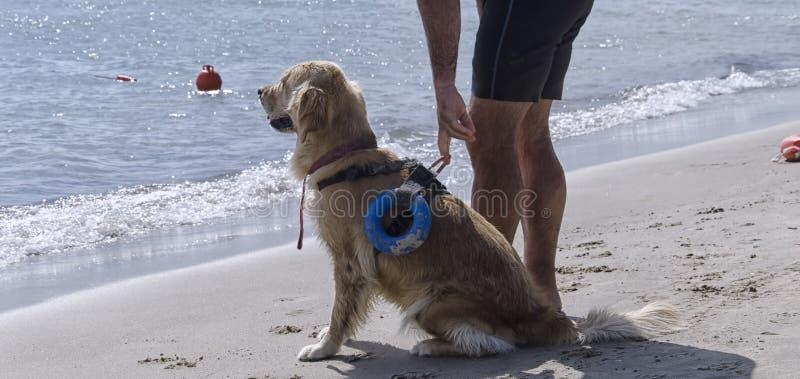 Ratowniczy pies czeka instrukcje obrazy royalty free