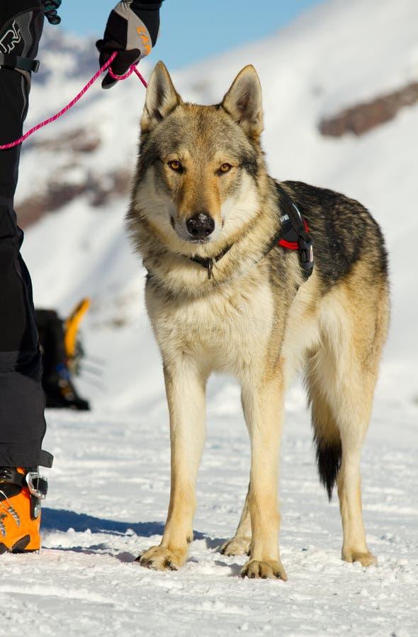 Ratowniczy pies na śniegu zdjęcie stock