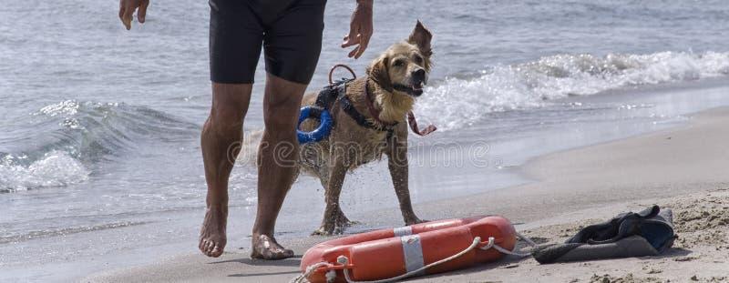 Ratowniczy pies przy plażą fotografia royalty free