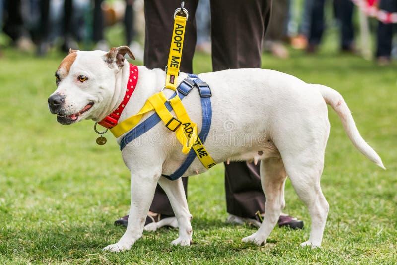 Ratowniczy pies, Staffordshire Bull terrier szuka adopcję w czerwonym kropkowanym kołnierzu na trawie zdjęcia stock