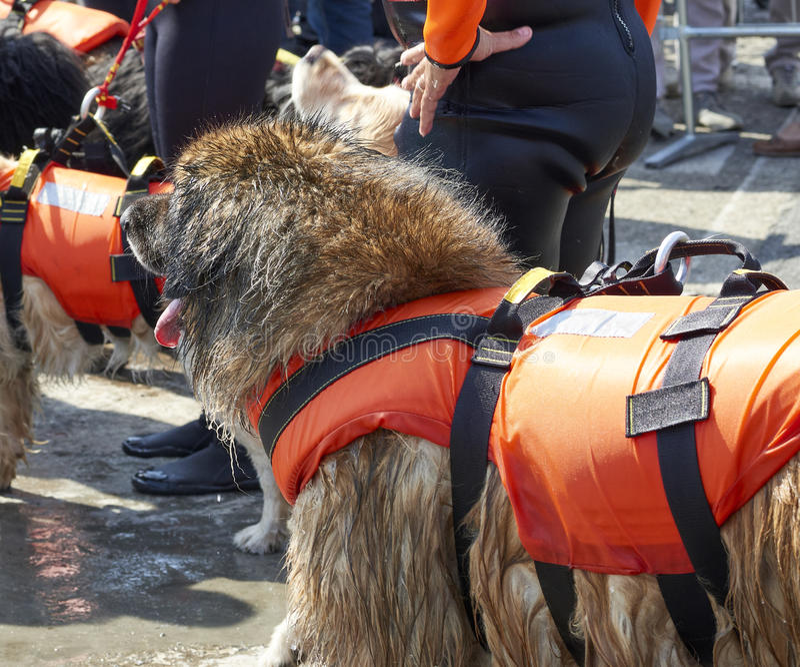 ratowniczy pies w ulicie obraz stock