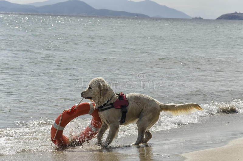 Ratowniczy pies z lifebelt zdjęcia stock