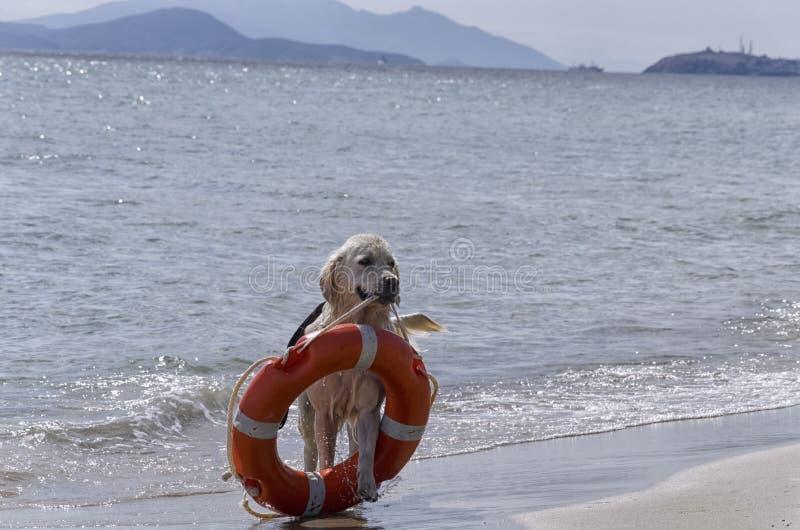 Ratowniczy pies z preserver fotografia royalty free
