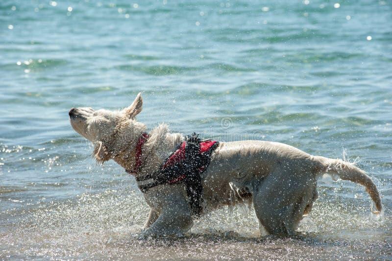 Ratownika pies trząść daleko wodę po pływania zdjęcie royalty free