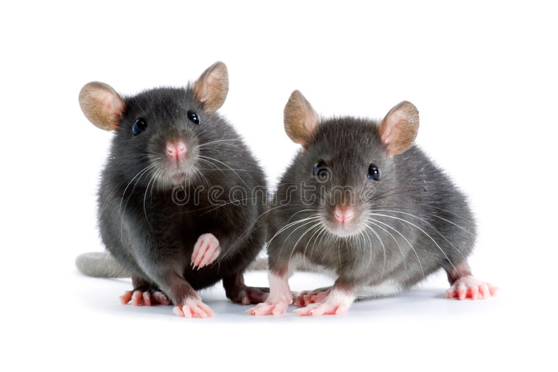 Rats stock image
