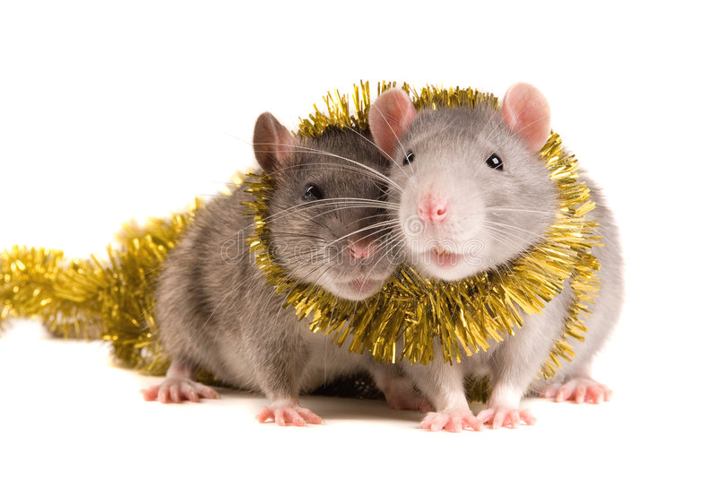 Rats photo libre de droits