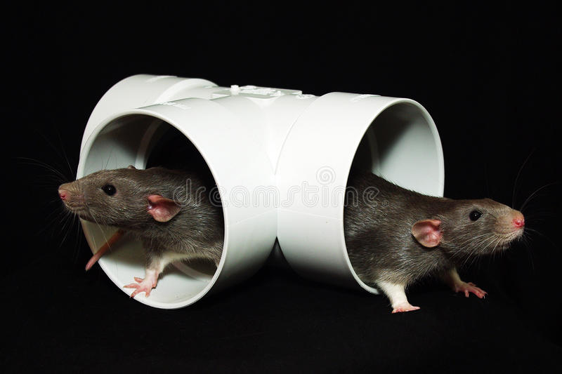 Download Rats brothers stock image. Image of animal, animaux, grey - 25752591