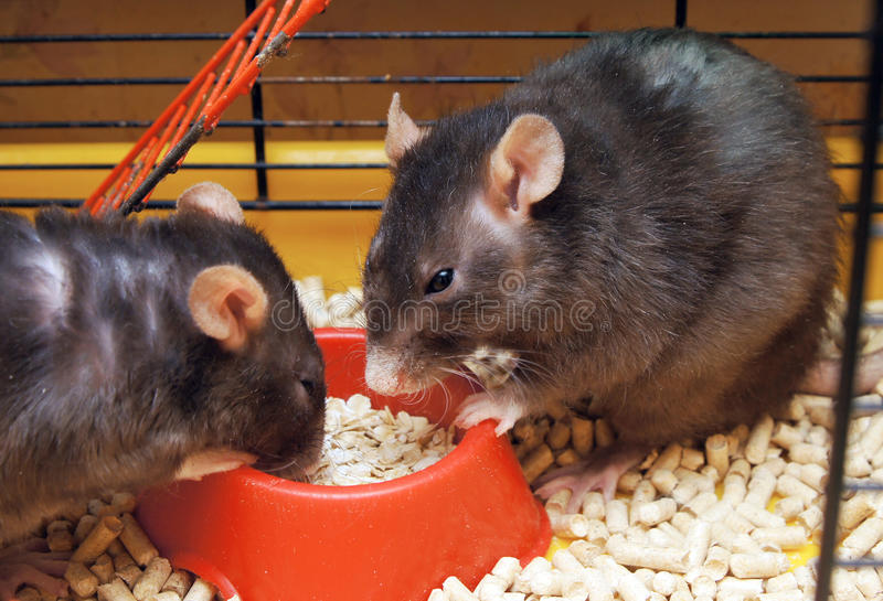 Rats In A Cage Stock Photo