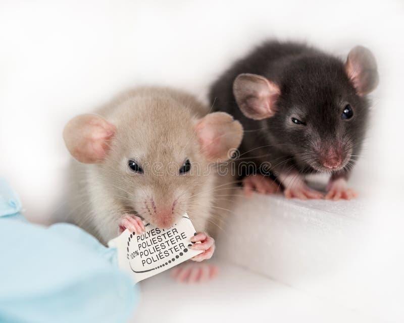 Rats de bébé photos stock
