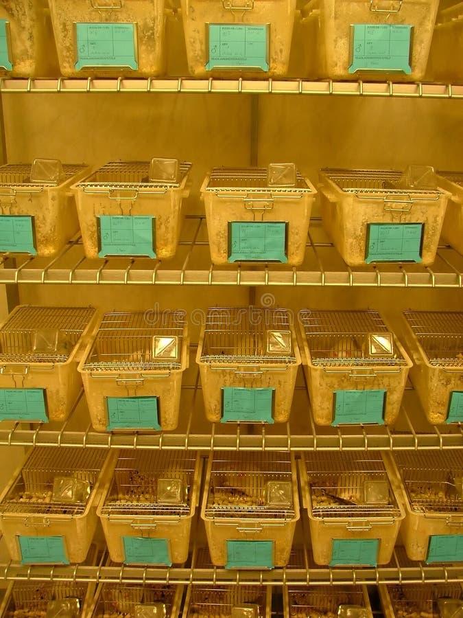 Rats de laboratoire image libre de droits