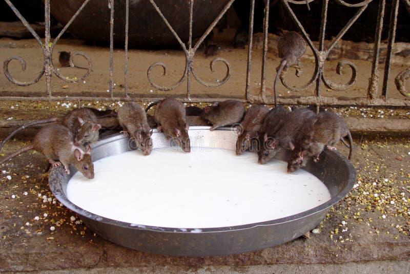 Rats de temple image stock