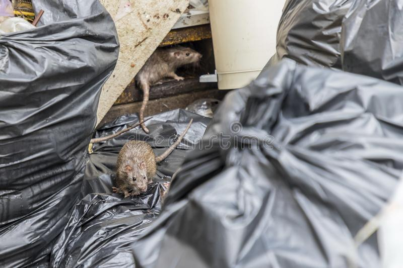 Rats in the garbage old foam and black bags royalty free stock photo
