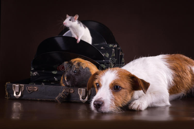 Rats and guinea pigs and dog. On a retro background royalty free stock photo