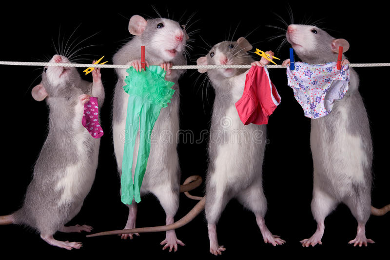 Rats Hanging Laundry. A group of rats are hanging their laundry royalty free stock photography