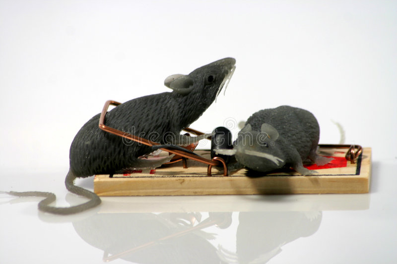 Rats In Trap Royalty Free Stock Photo
