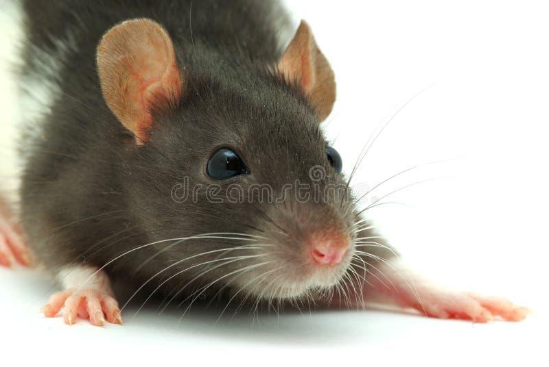 Ratte stockfotos