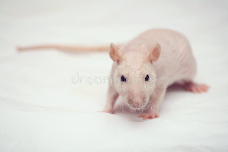 Download Ratte stockfoto. Bild von säugetier, getrennt, haarig - 9090224